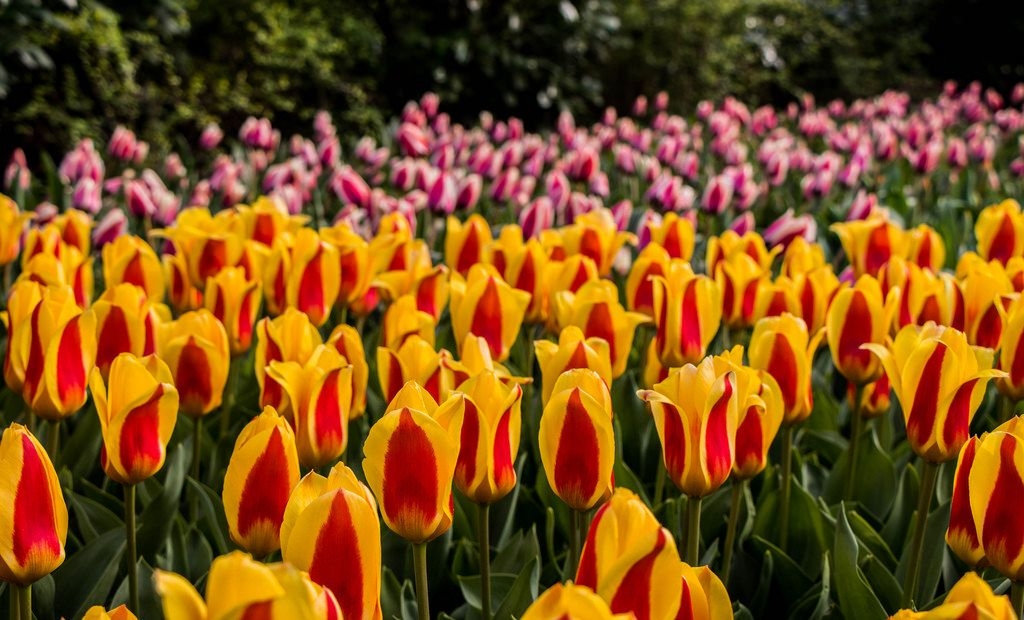 Yellow and pink tulips in Keukenhof garden
