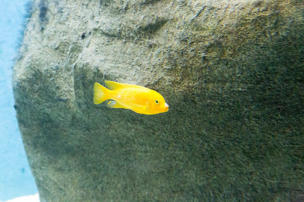 Yellow Cichlid (Labidochromis caeruleus) at Shedd Aquarium