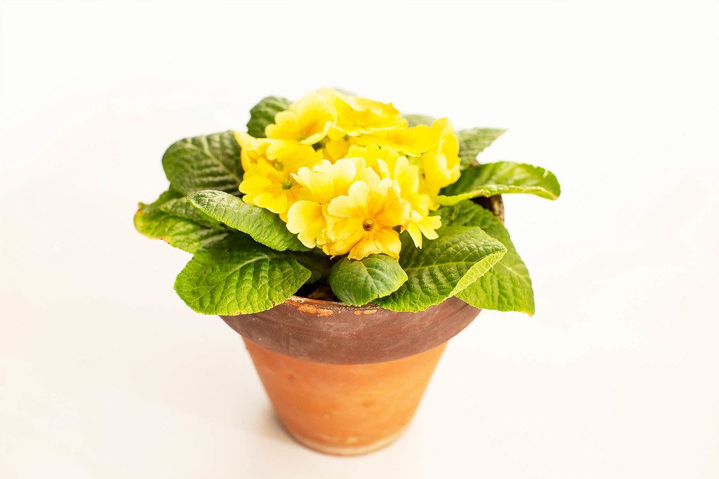 Yellow spring pansies flowers in ceramic pot isolated