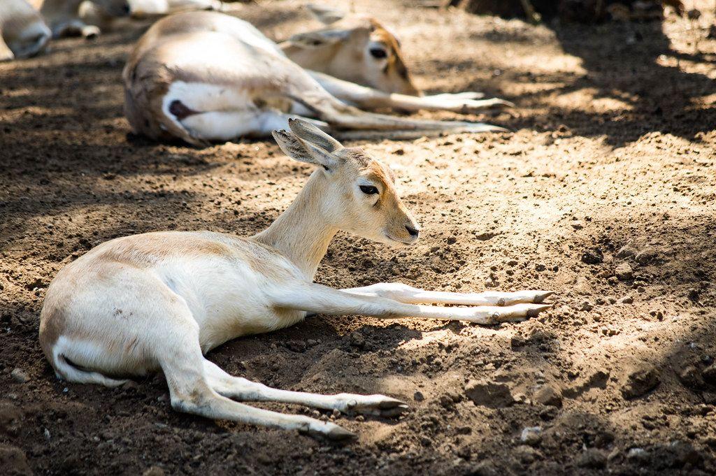 Young blackbuck antilope cervicapra lying on fresh ground (Flip 2019)