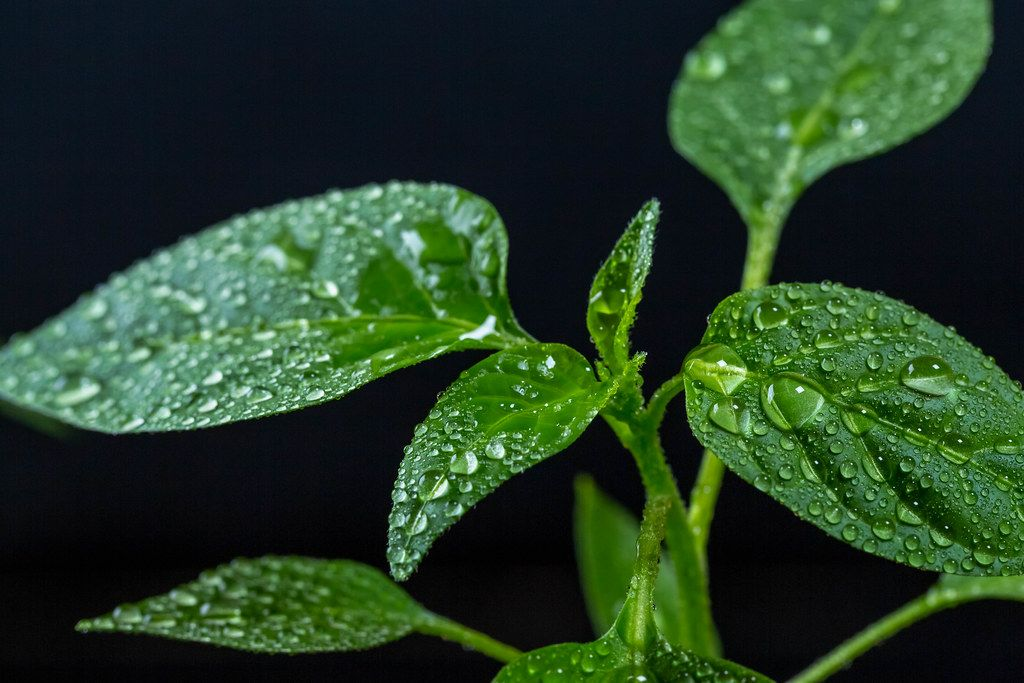 Young pepper leaves with water drops
