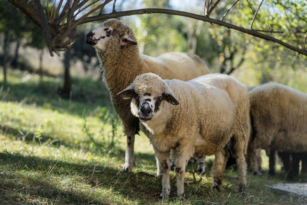 Zwei grasende Schafe auf der Wiese einer Farm