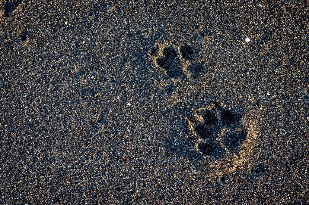 Zwei Pfotenabdrücke eines Hundes im schwarzen Sand