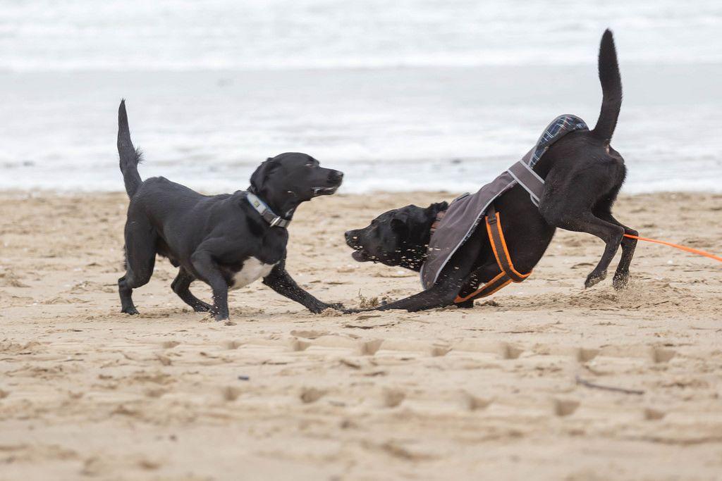 Zwei schwarze Labradore beim Herumtollen