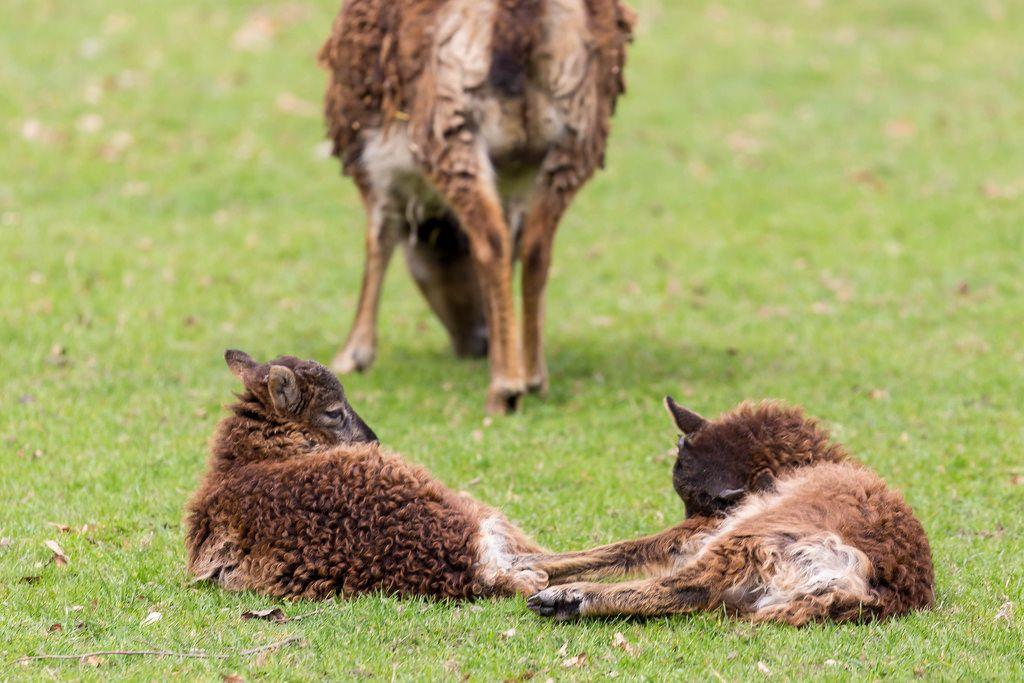 Zwei Zicklein dösen im Gras, Ziege im Hintergrund