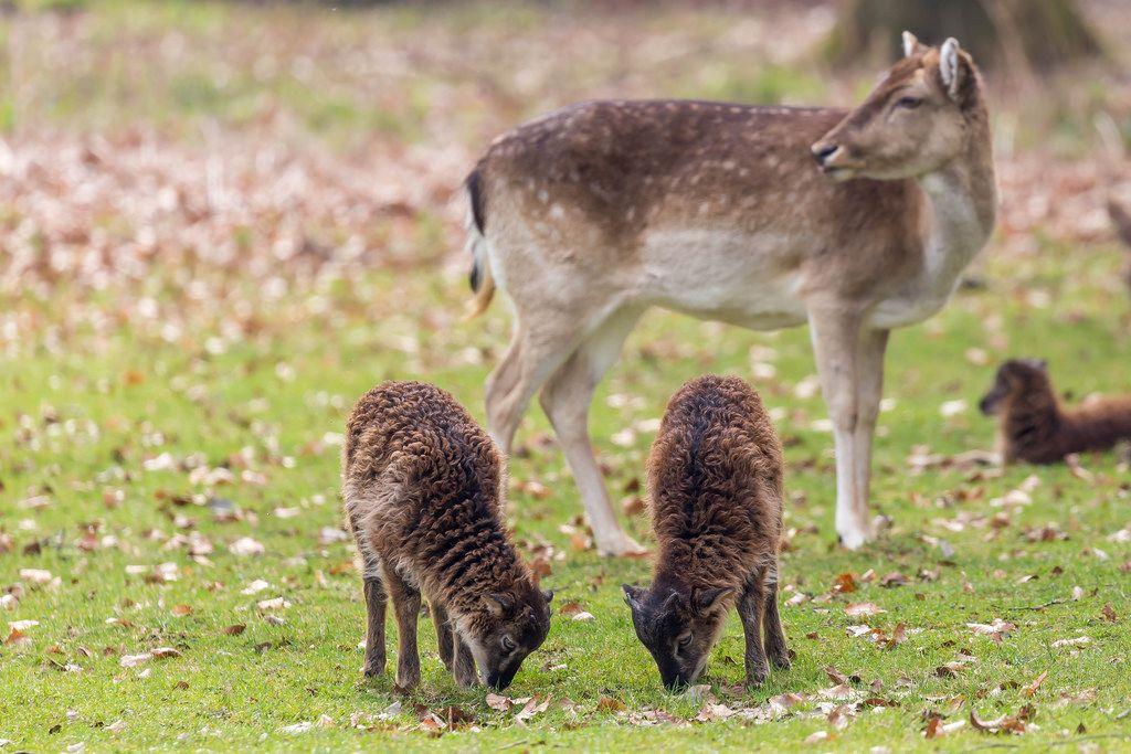 Zwei Zicklein und ein Reh im Hintergrund. Lindenthaler Tierpark