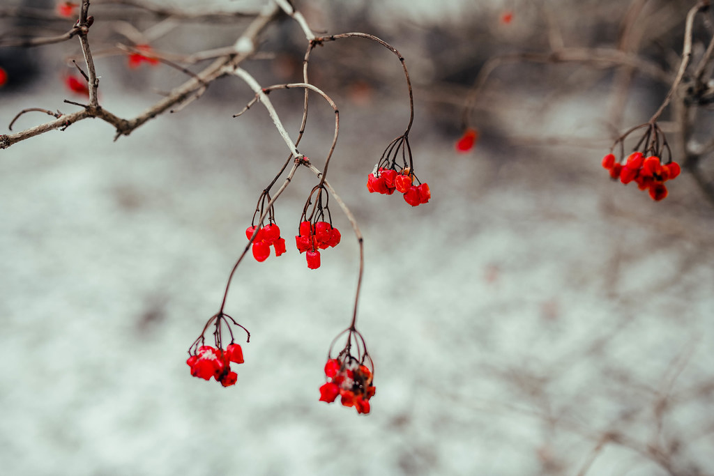A Branch Of Red Viburnum Berries In Wintertime