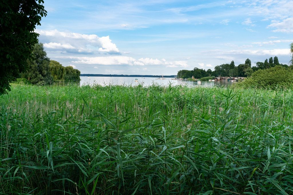 A lot of cordgrass at the lake shore in the town of Schwerin, Germany