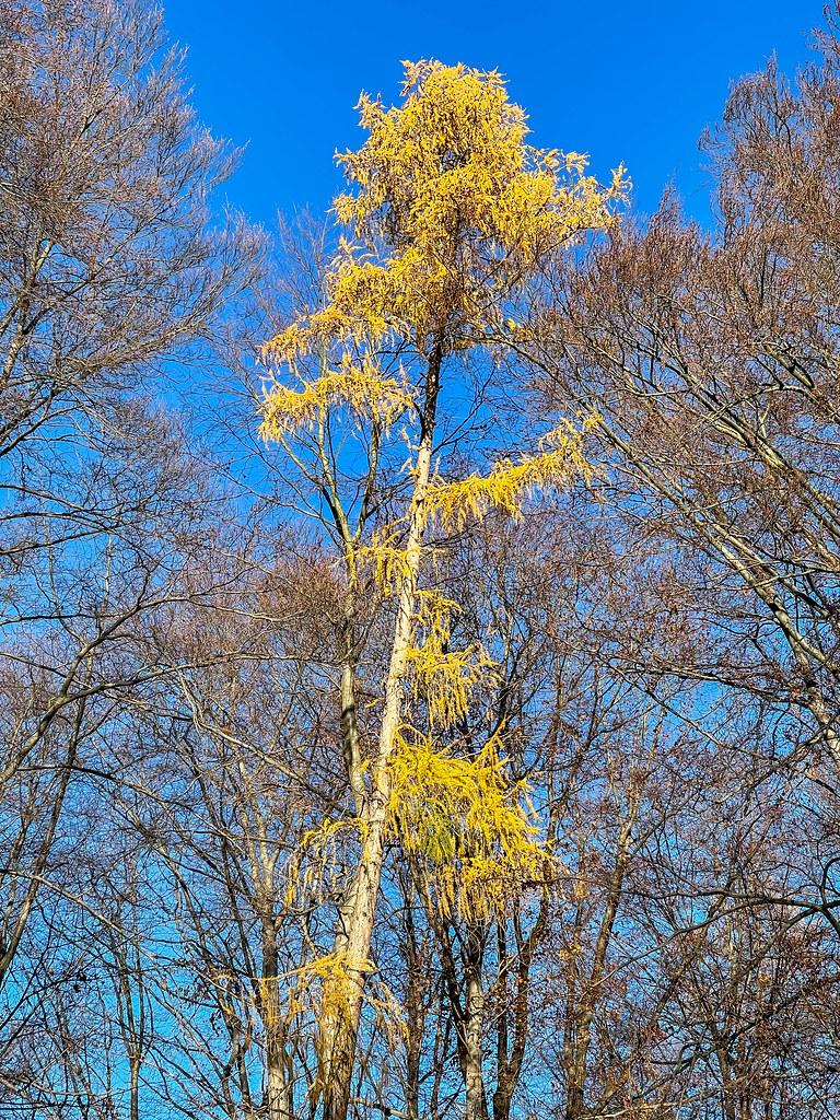 A tall and thin tree with bright yellow leaves surrounded by other trees with the blue sky behind