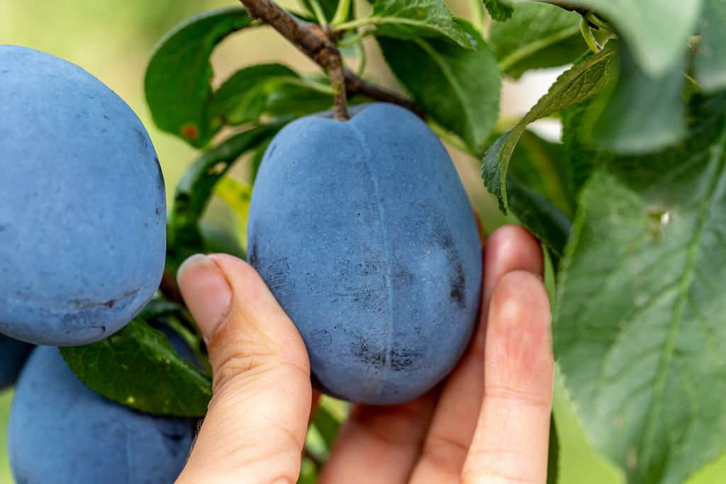 A woman's hand picks a ripe plum from a tree