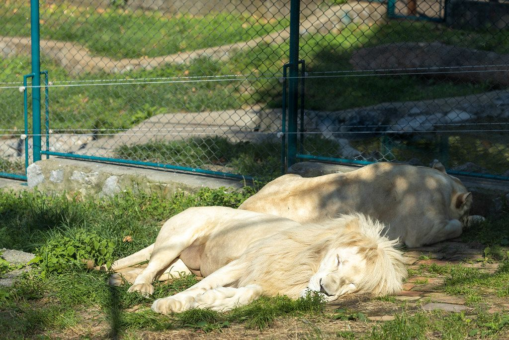 African White Lions sleeping outside in the Belgrade Zoo