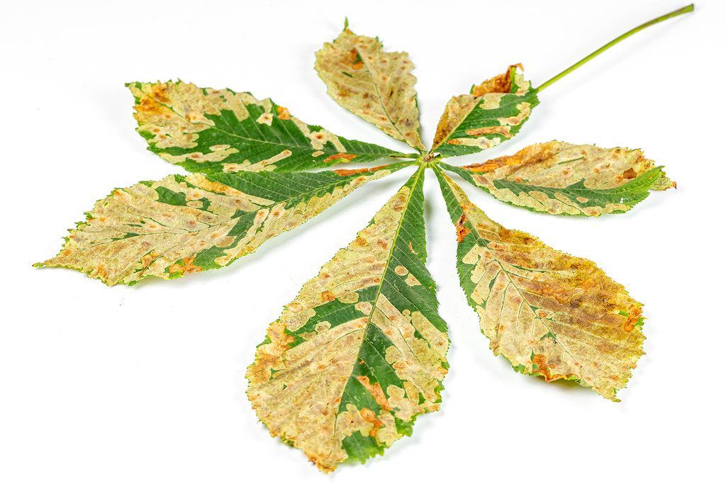 Autumn chestnut leaf on a white background