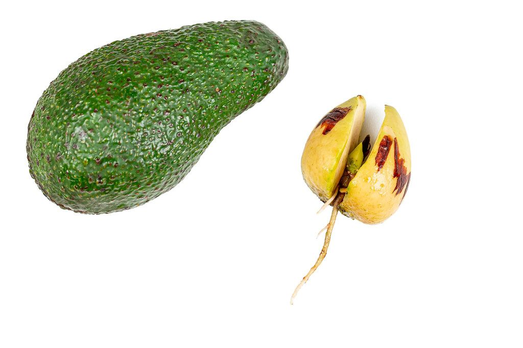 Avocado fruit and avocado seed with sprouted roots on a white background