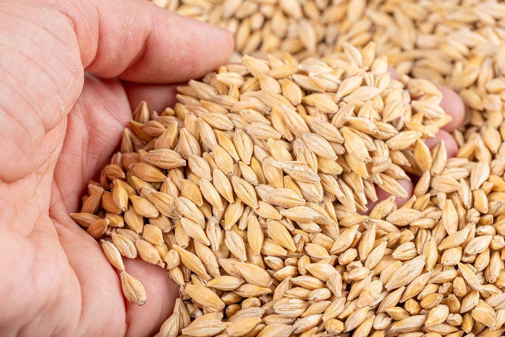 Barley grain in man hand, close up