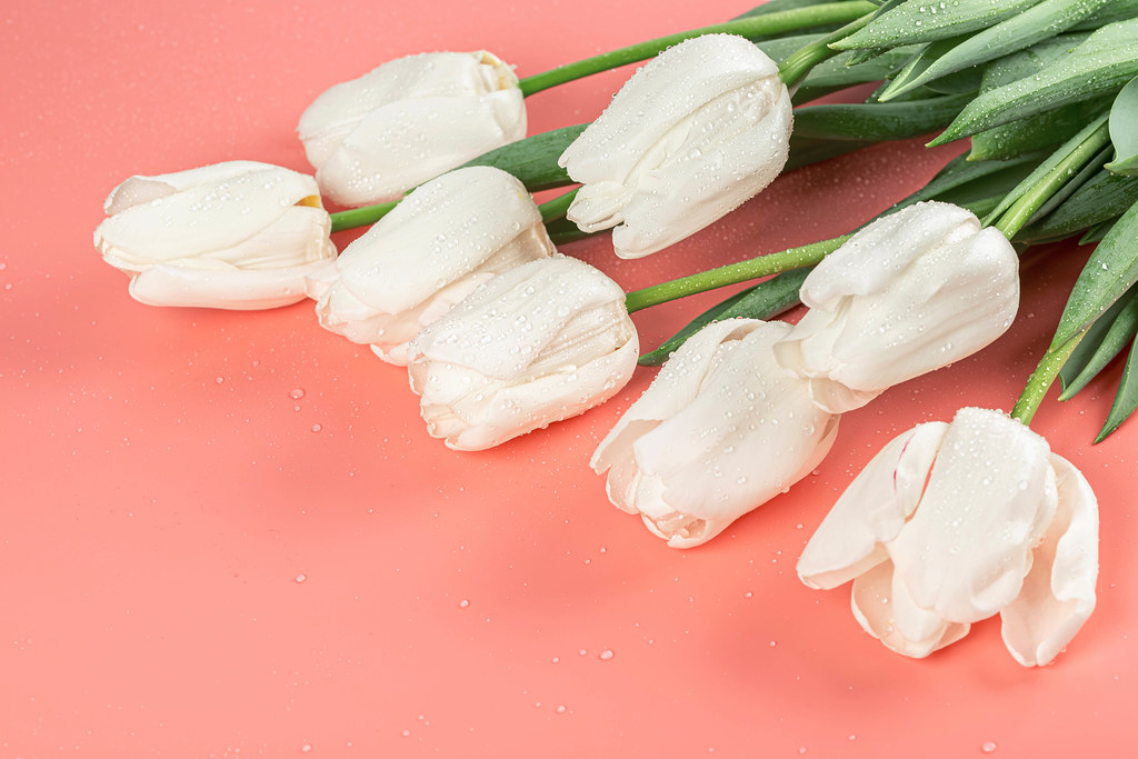 Beautiful white tulips on pink background