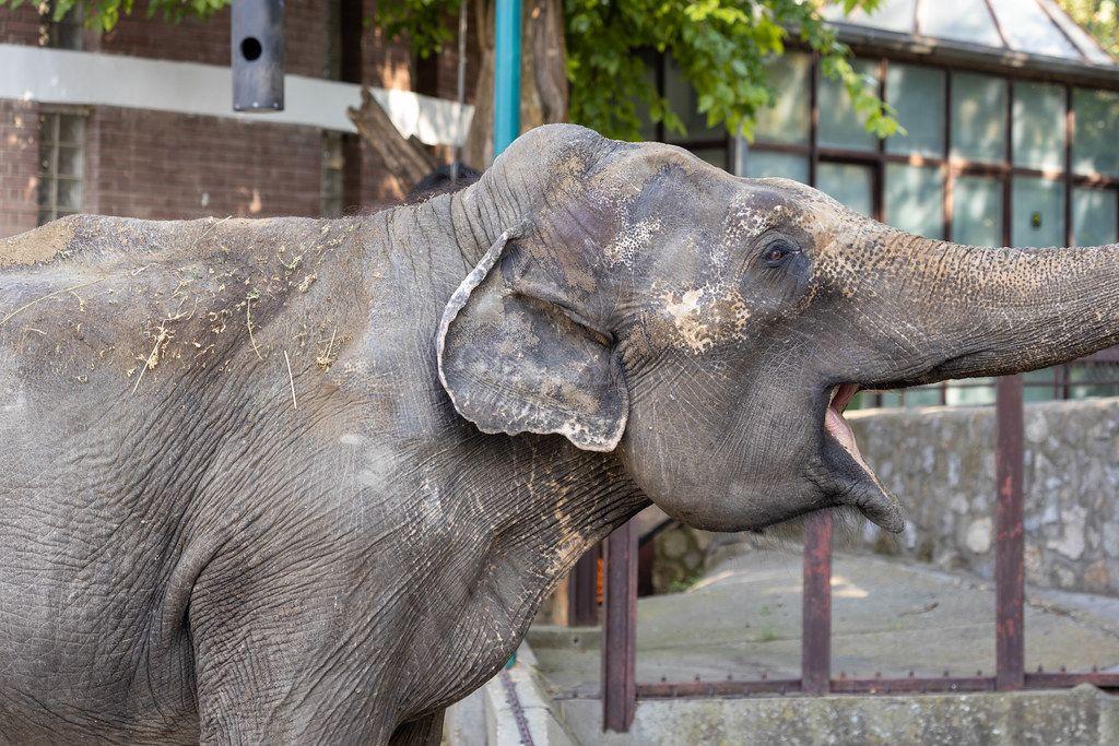 Big old Elephant eating in the Belgrade Zoo