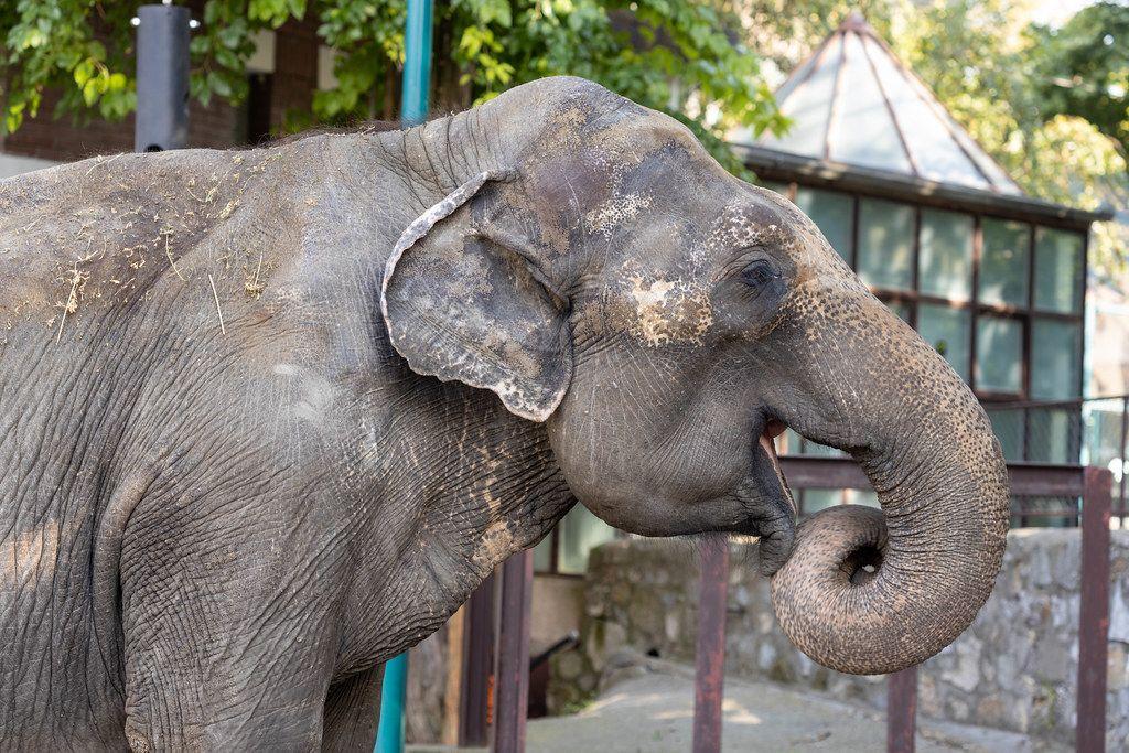 Big old Elephant in the Belgrade Zoo