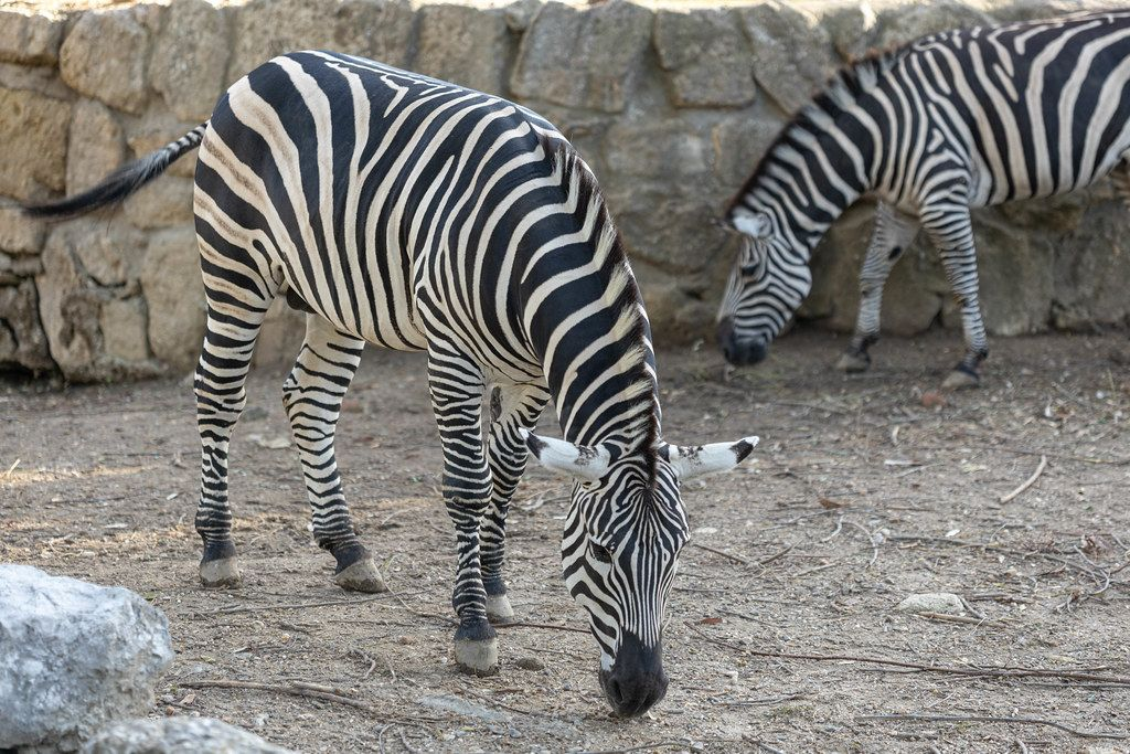 Black and White Zebra eating from the ground