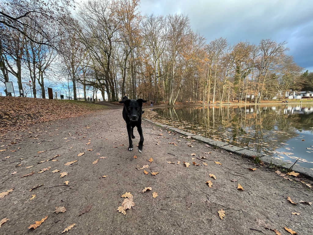Black dog looks in the camera on a late autumn day with brown leaves on the ground next to a small lake