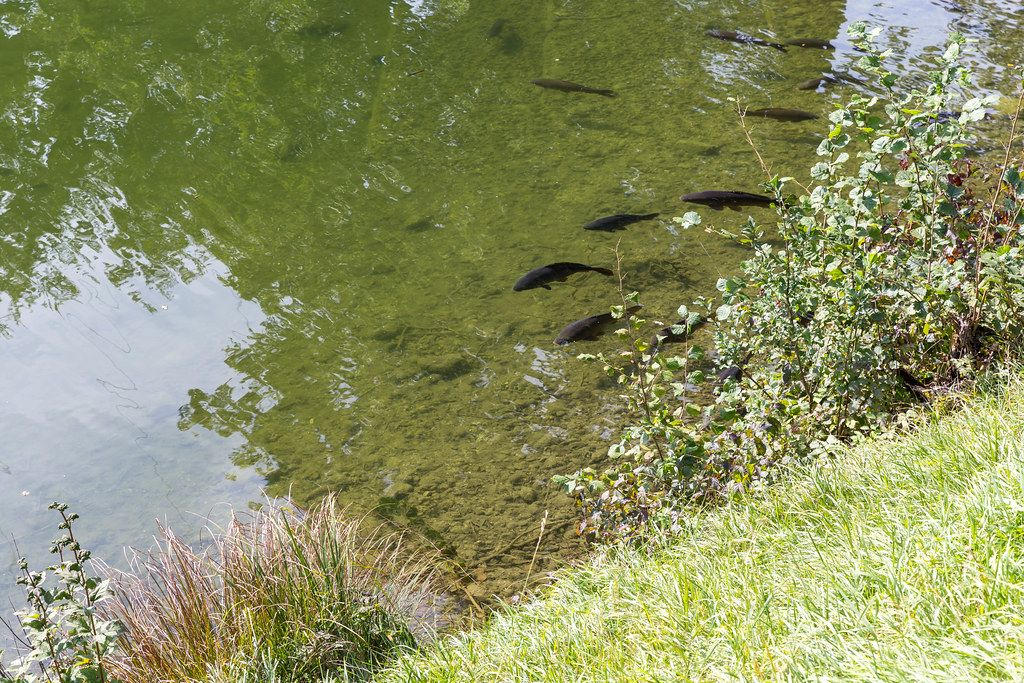 Black fish in the shallow waters of the small lake Buchsee in Tyrol, Austria