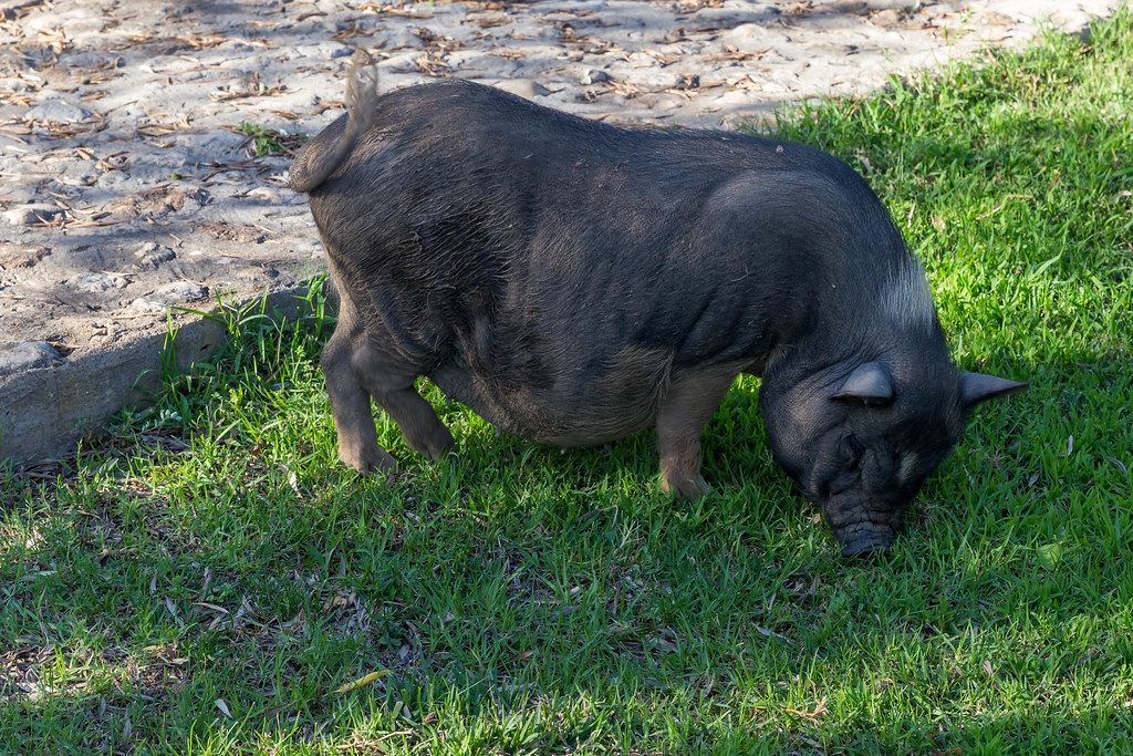 Black Iberian pig on the grass at Villa Vegana restaurant and hotel in Selva, Mallorca