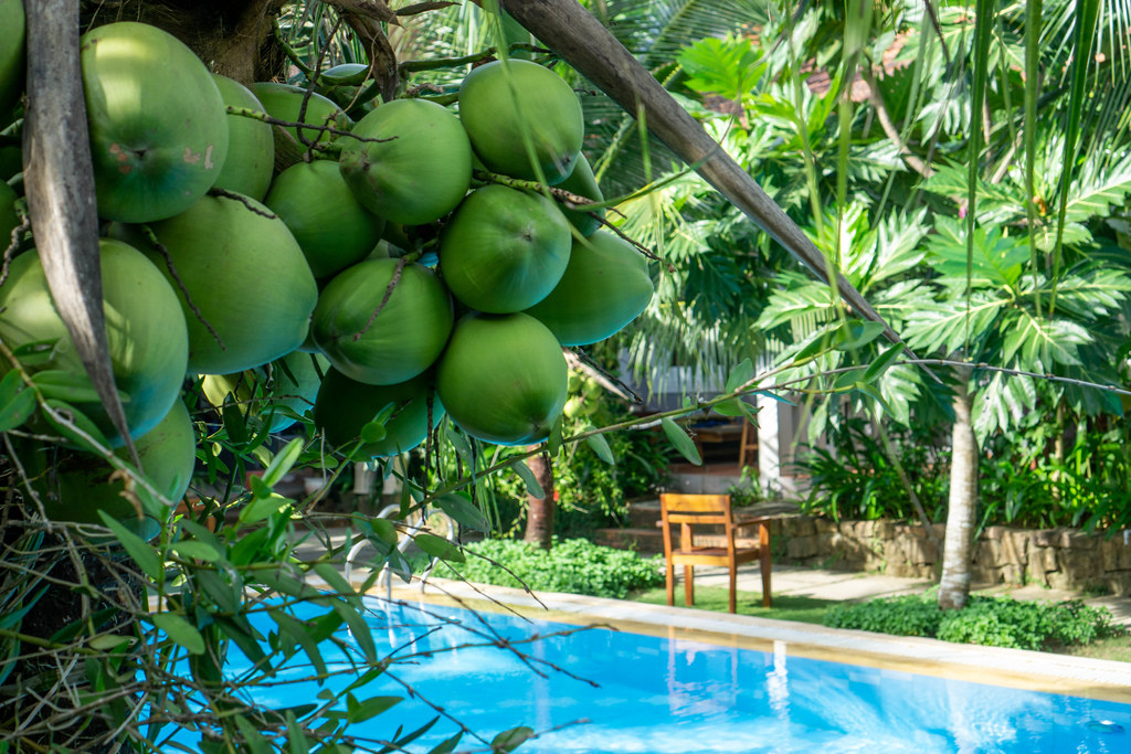 Bokeh Photo of Coconuts on a Palm Tree with Swimming Pool and Garden in the Background at a Hotel in Phu Quoc, Vietnam