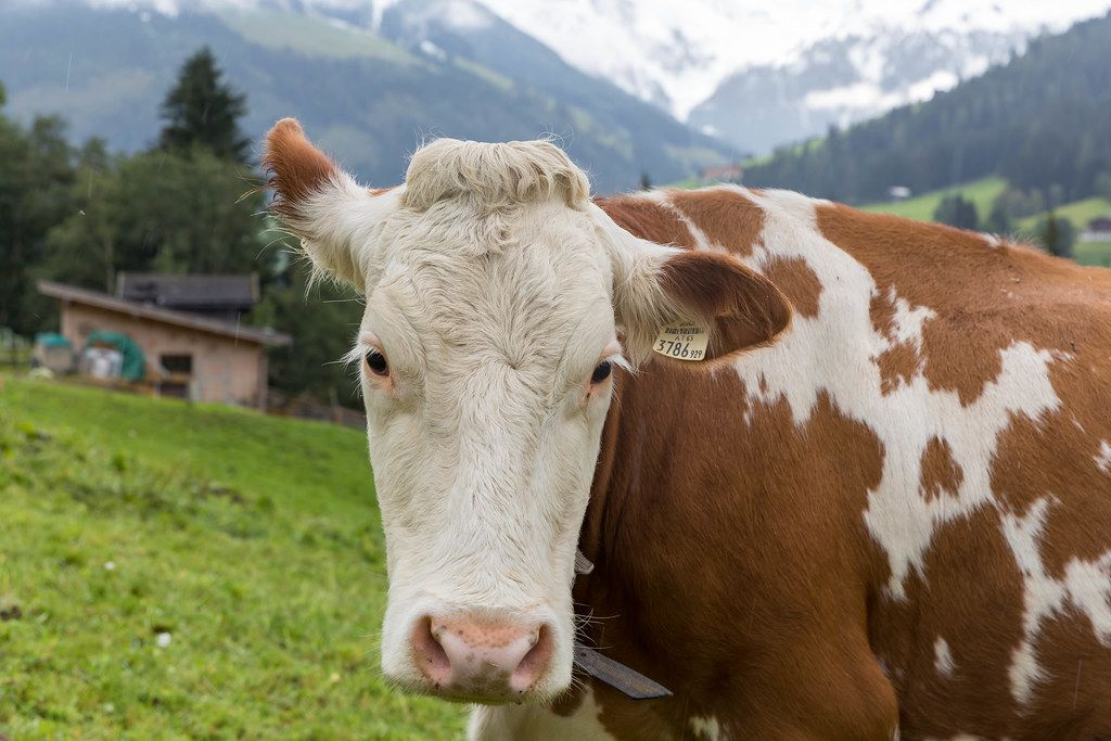 Brown and white cow, close-up in alpine setting with snowcapped mountains in the background