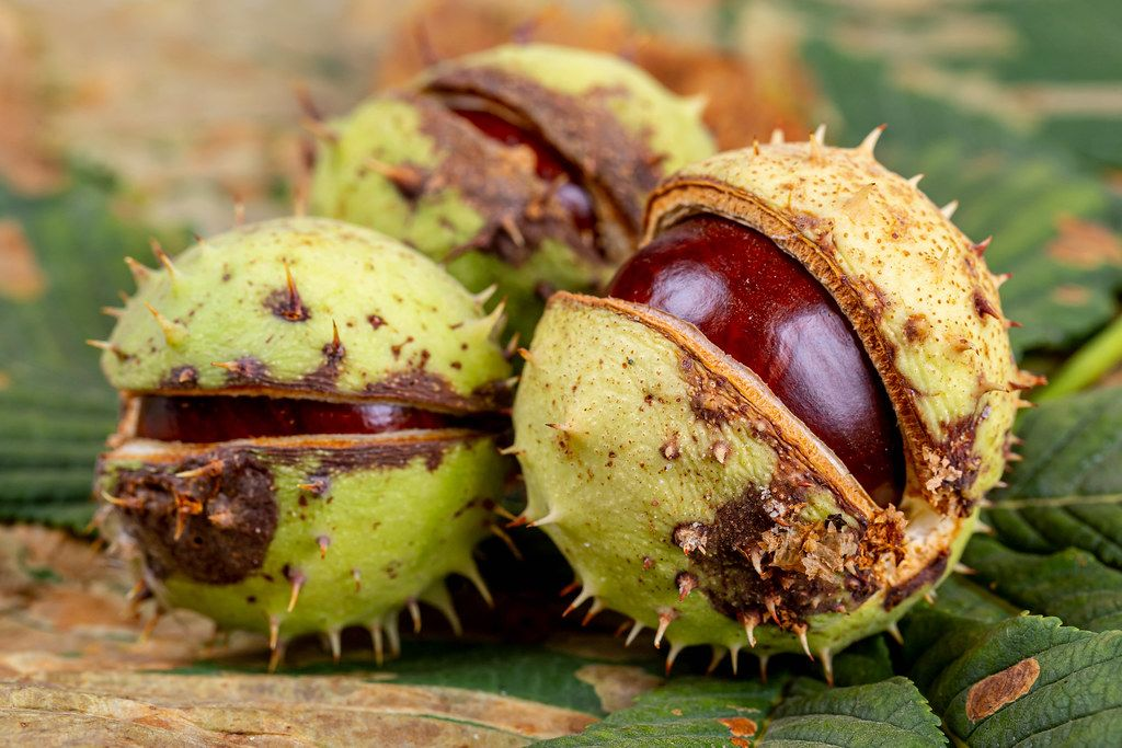 Chestnut fruits in shell and green and yellow leaves