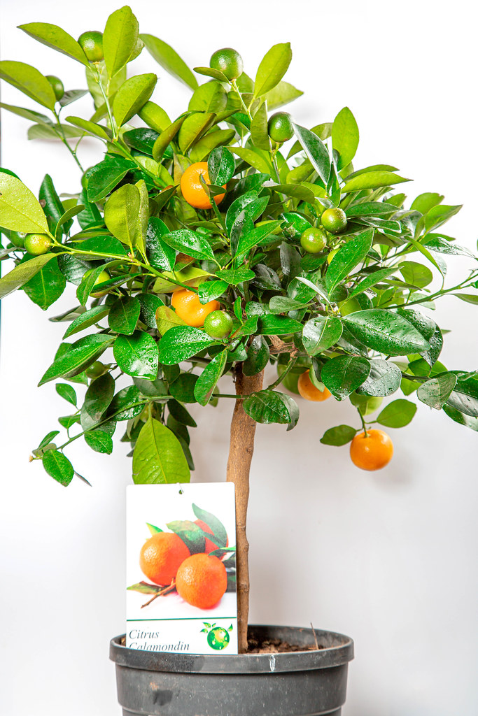 Citrus houseplant calamondin with green and ripe fruits
