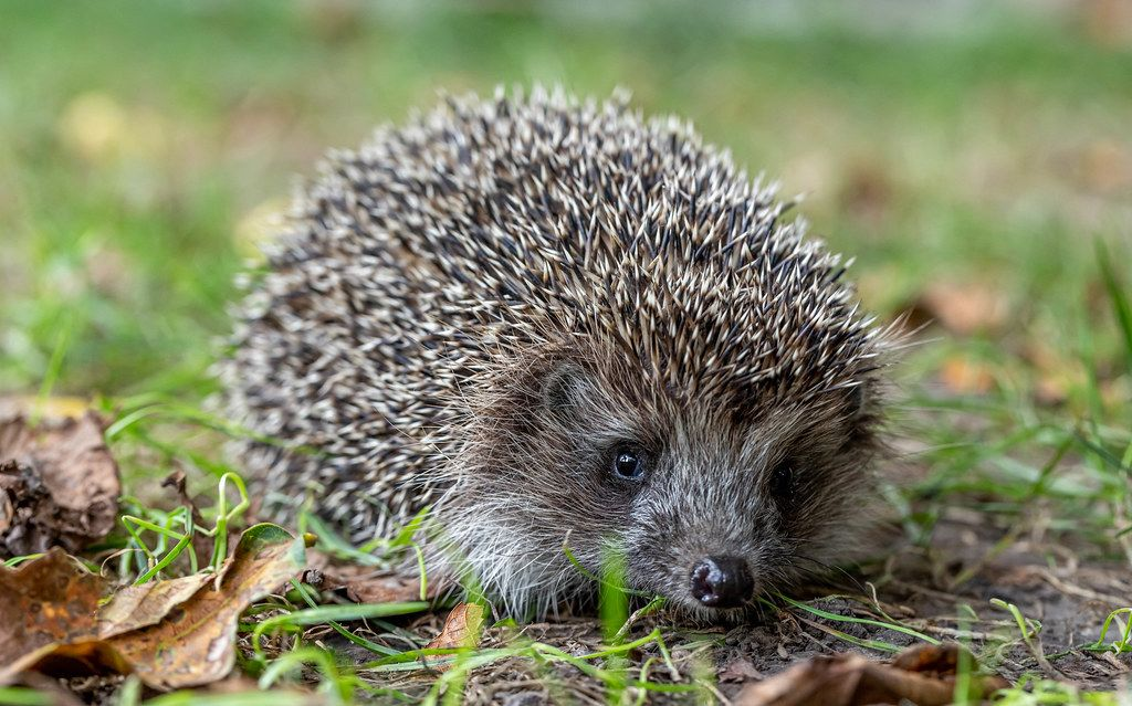 Close-up, hedgehog in nature background