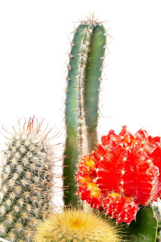 Close up, multicolored cacti background