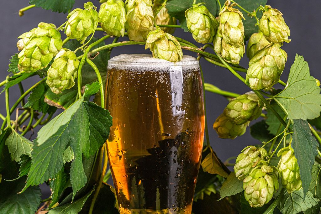 Close-up of a glass of light beer and branches of fresh hops