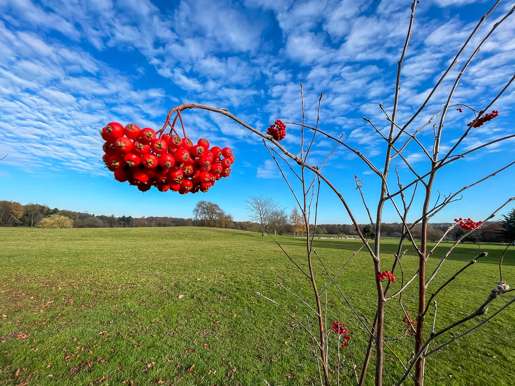 Close-up of plant with red winterberries and naked branches with mackerel sky and meadow
