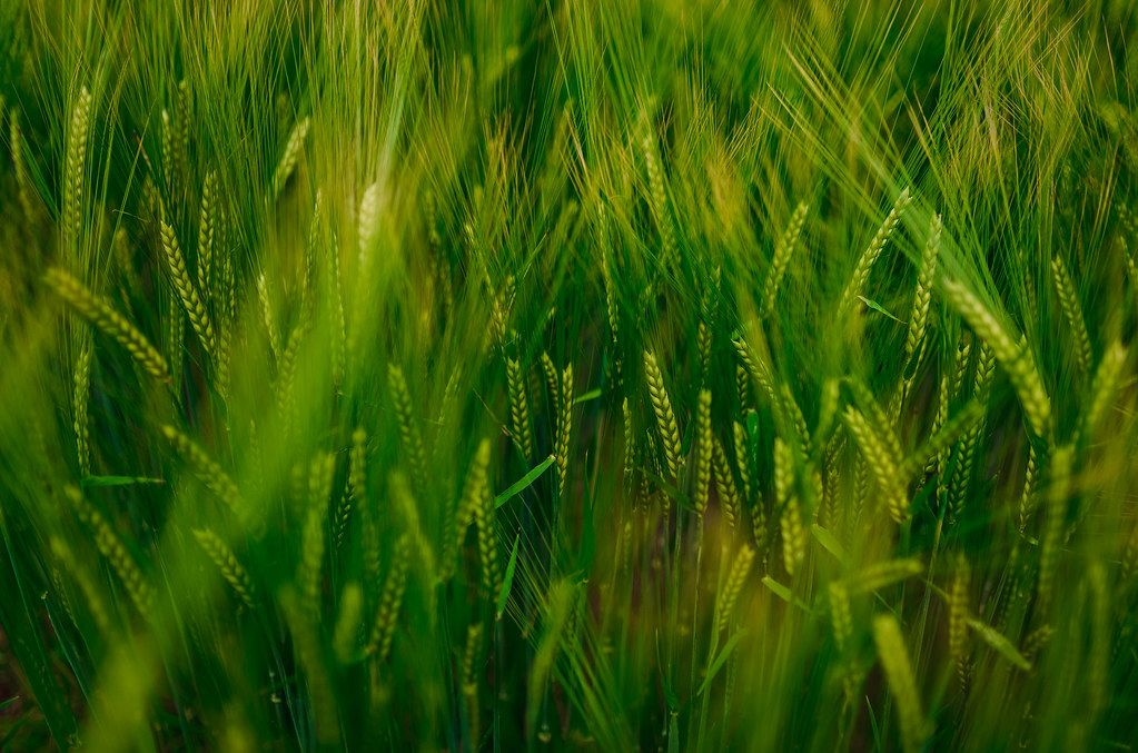 Close Up Of Wheat In Summer Meadow