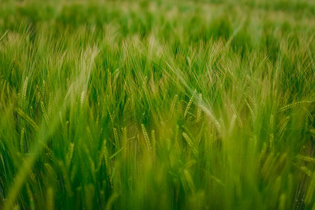 Close Up Of Wheat Meadow