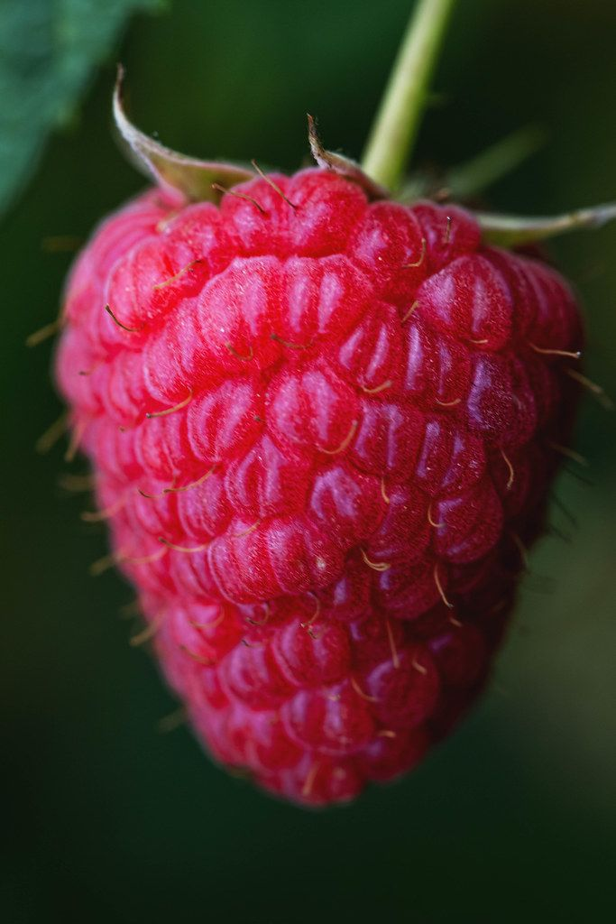 Close-up, ripe raspberry berry on a bush