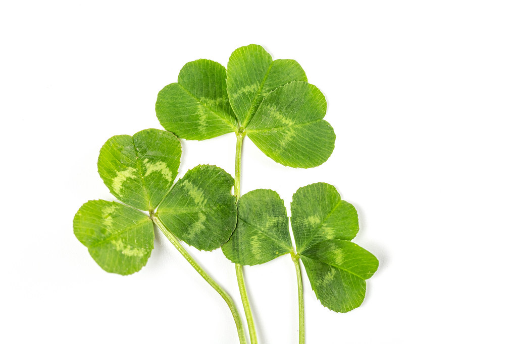Clover leaves on a white background