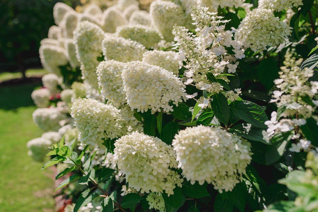Cluster Of White Hydrangea Flowers