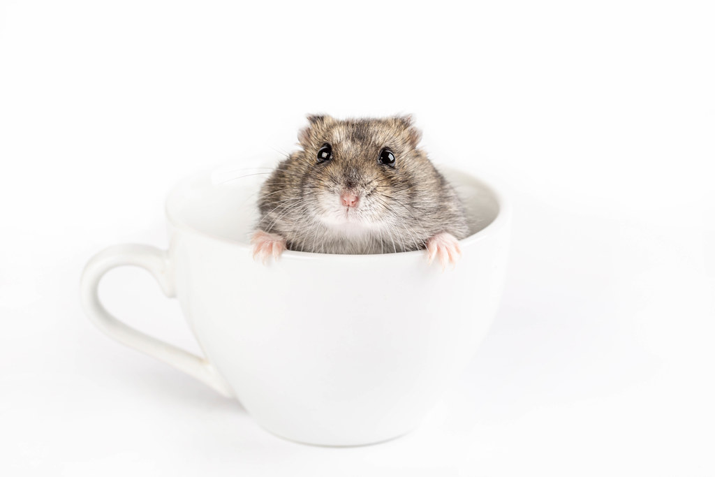 Domestic hamster in a white cup
