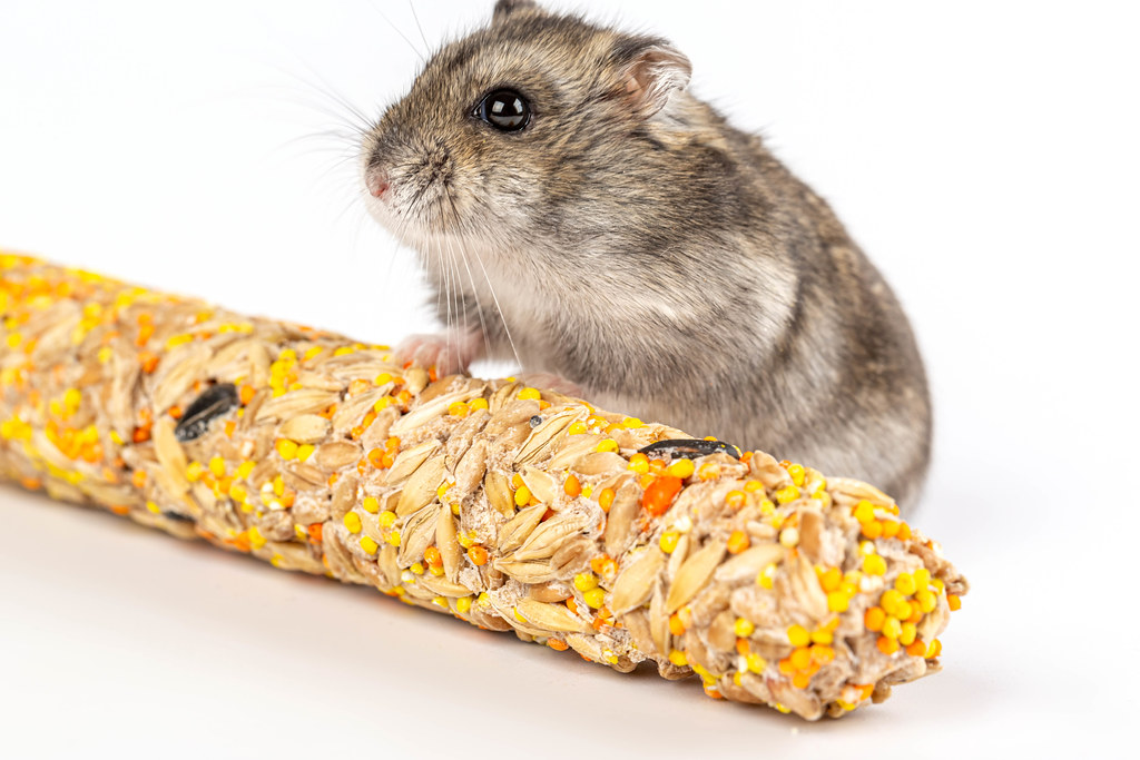 Domestic pet hamster with food on a white background, close-up