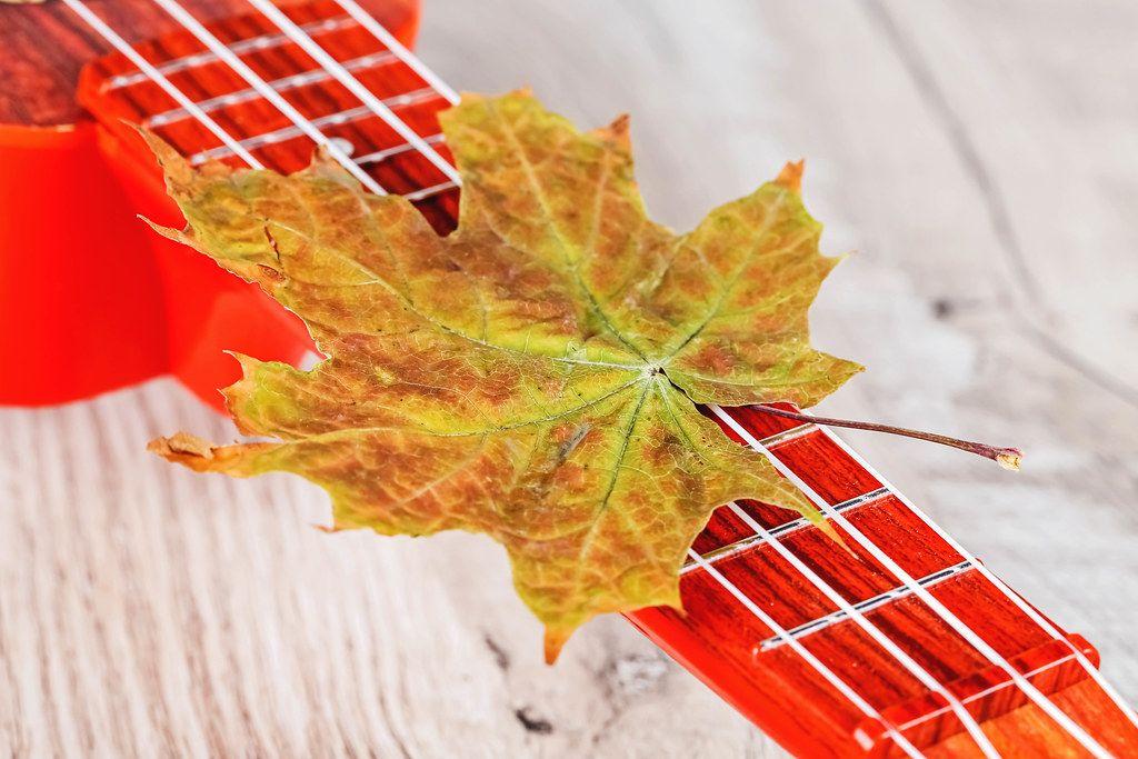 Dry autumn maple leaf on ukulele guitar strings
