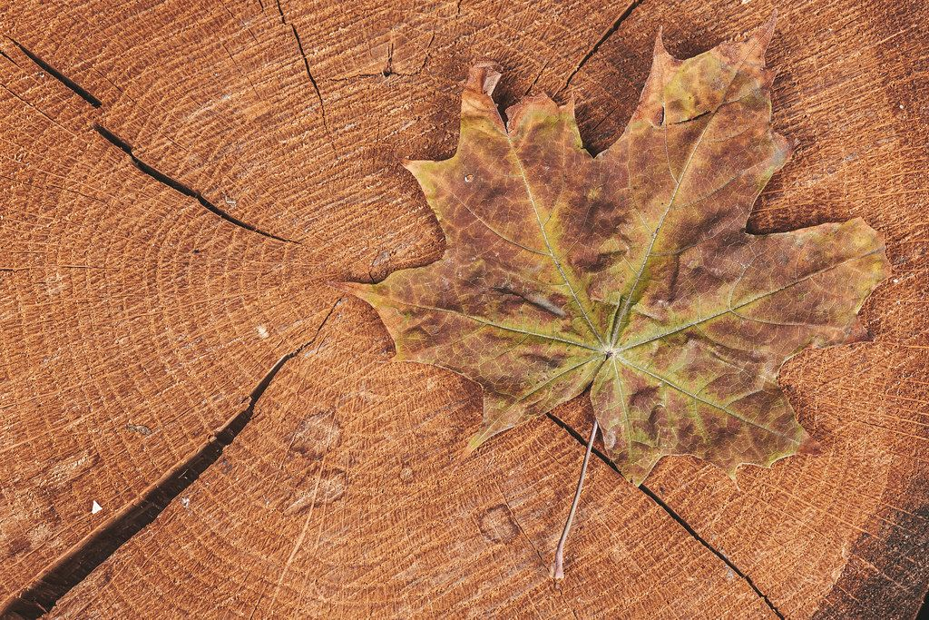 Dry maple leaf on wooden background, top view