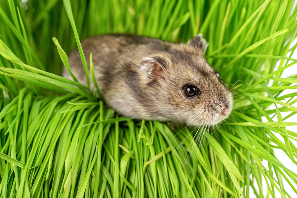 Dwarf gray hamster on the green grass