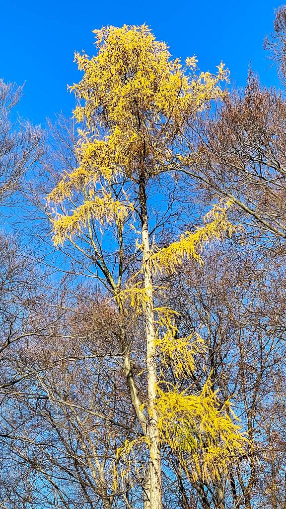 Ein hoher Baum mit gelben Blättern mit dem blauen Himmel im Hintergrund im Dezember in Köln