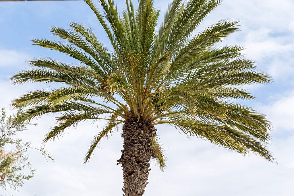 Eine Palme mit dem Himmel im Hintergrund auf Mallorca