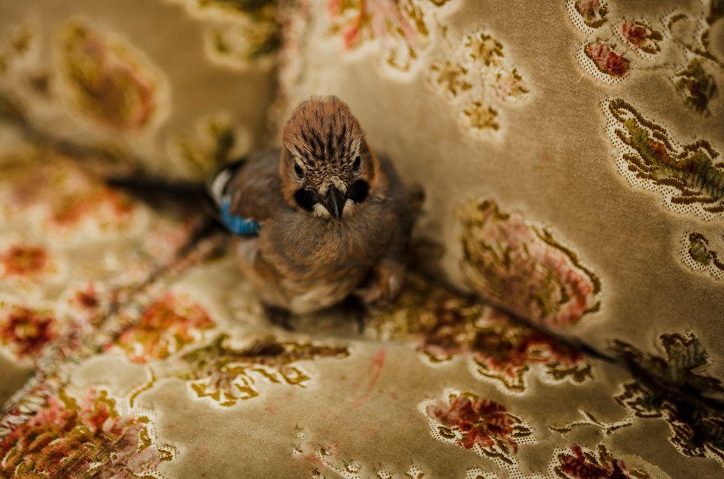 Eurasian Jay Baby Bird In The Sofa