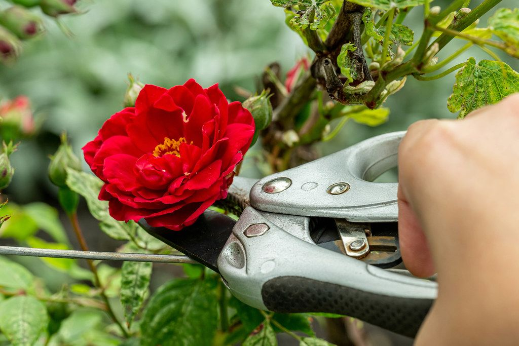 Female hand cut a red rose with pruner