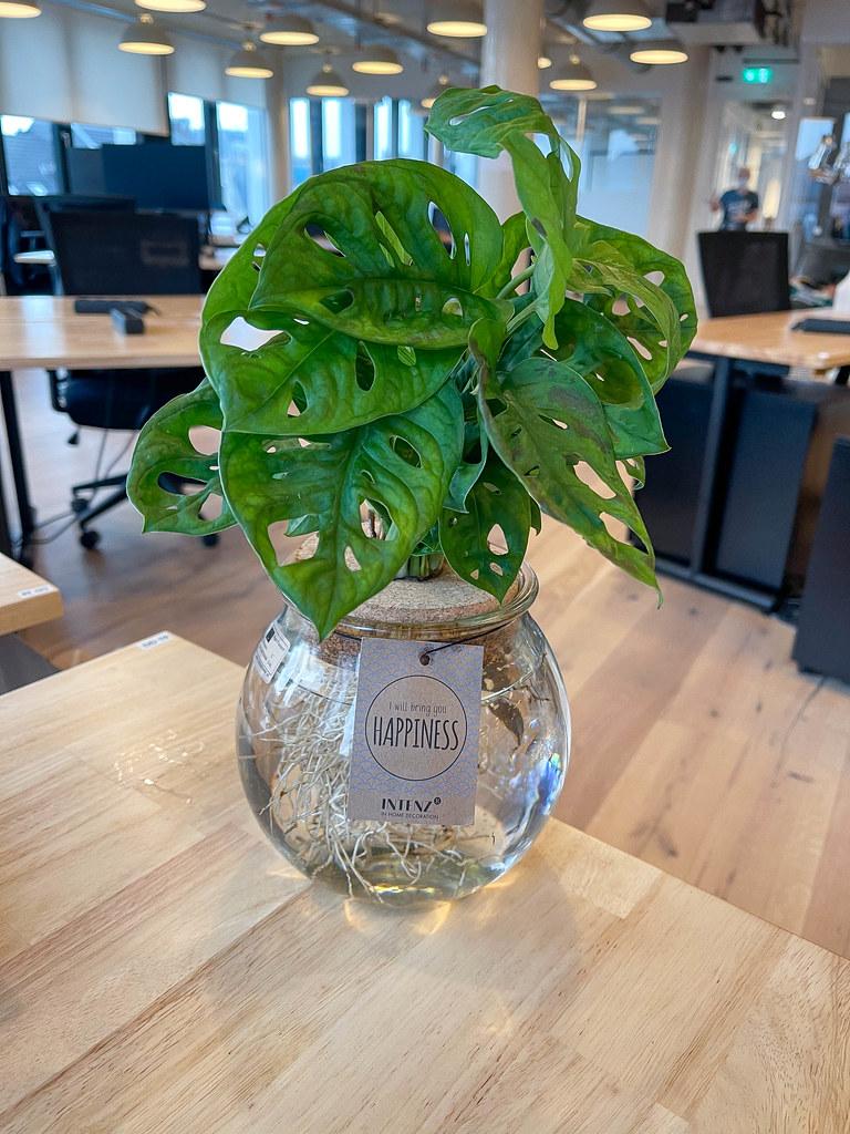 Fensterblatt oder Monstera: Pflanze mit gelöcherten Blättern auf dem Schreibtisch im Open Space Büro