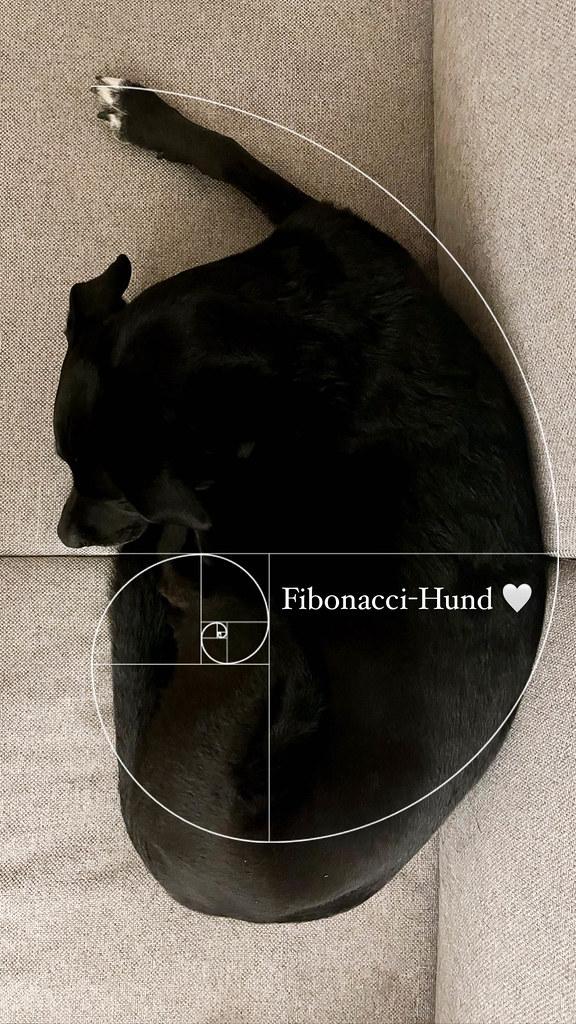 Fibonacci-Spirale im echten Leben: schwarzer Hund auf dem Sofa, der sich der goldenen Spirale annähert