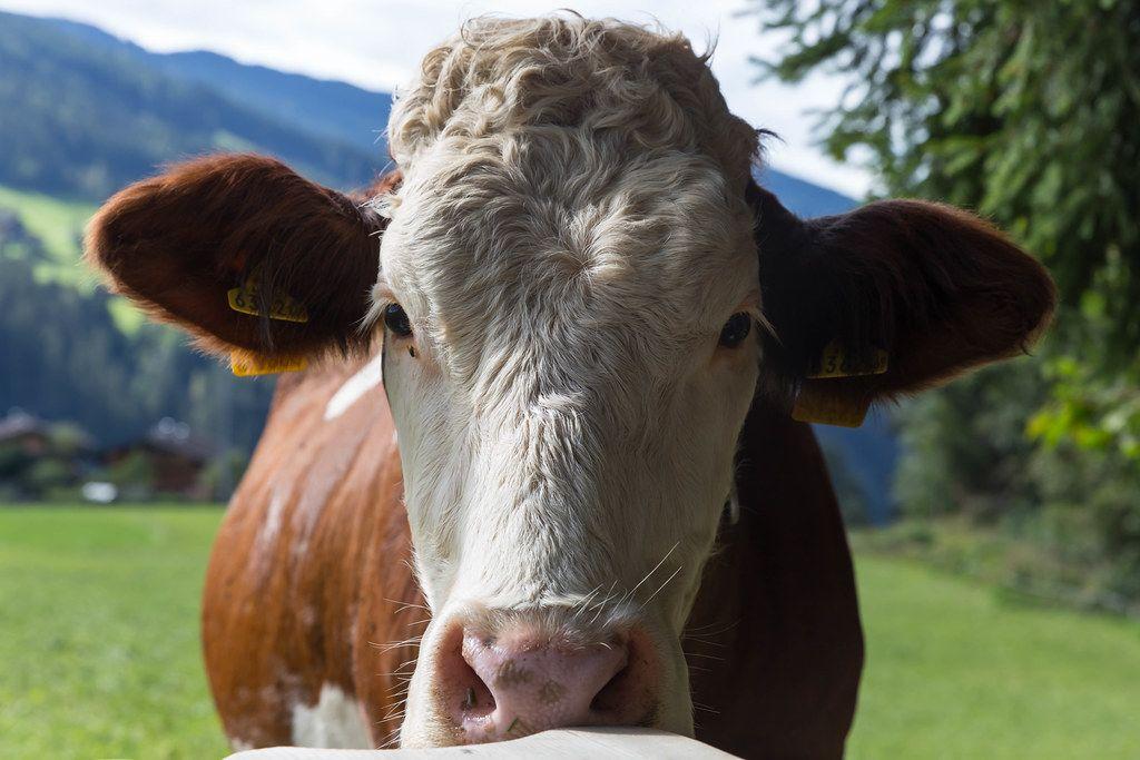 Fleckvieh: Nahaufnahme einer braunen Kuh mit weißen Flecken auf der Weide in Alpbach